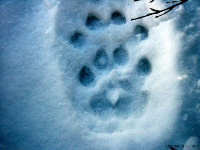 snow-leopard-footprint