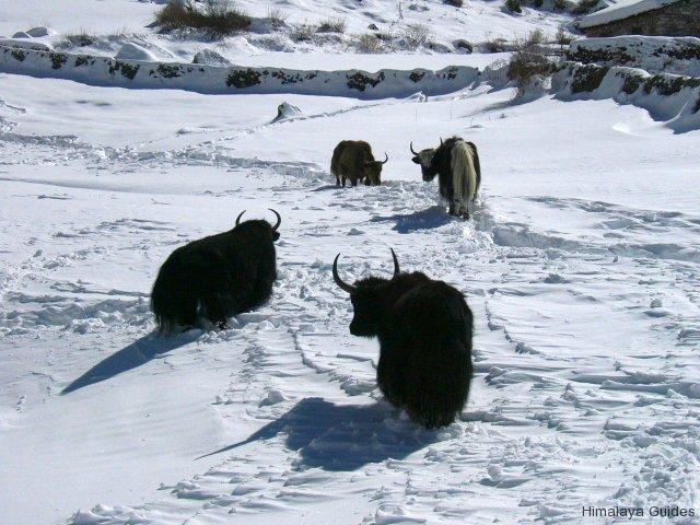 snow-yaks